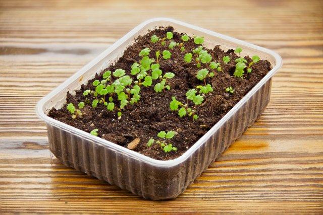 14 правил, которые вы должны соблюдать при выращивании рассады в домашних условиях | на грядке (огород.ru)
