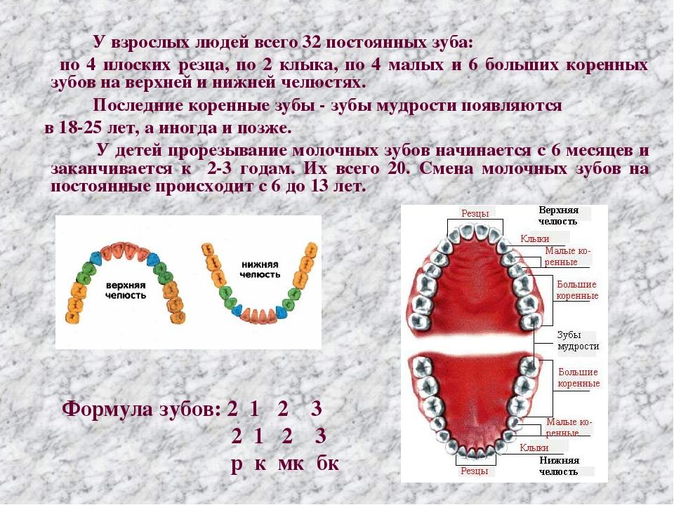 Как устроены наши зубы – важные анатомические особенности - анатомия зубов