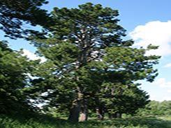 Сосна кедровая: описание, виды, распространение, выращивание
