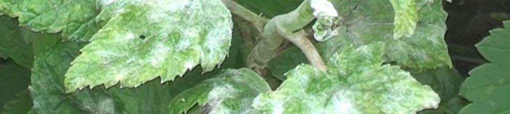 Белый налет на листьях смородины: лечение, как бороться, что делать, чем обработать и опрыскивать листья и ягоды