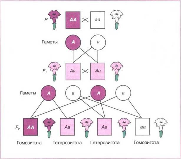 Генотип и фенотип.