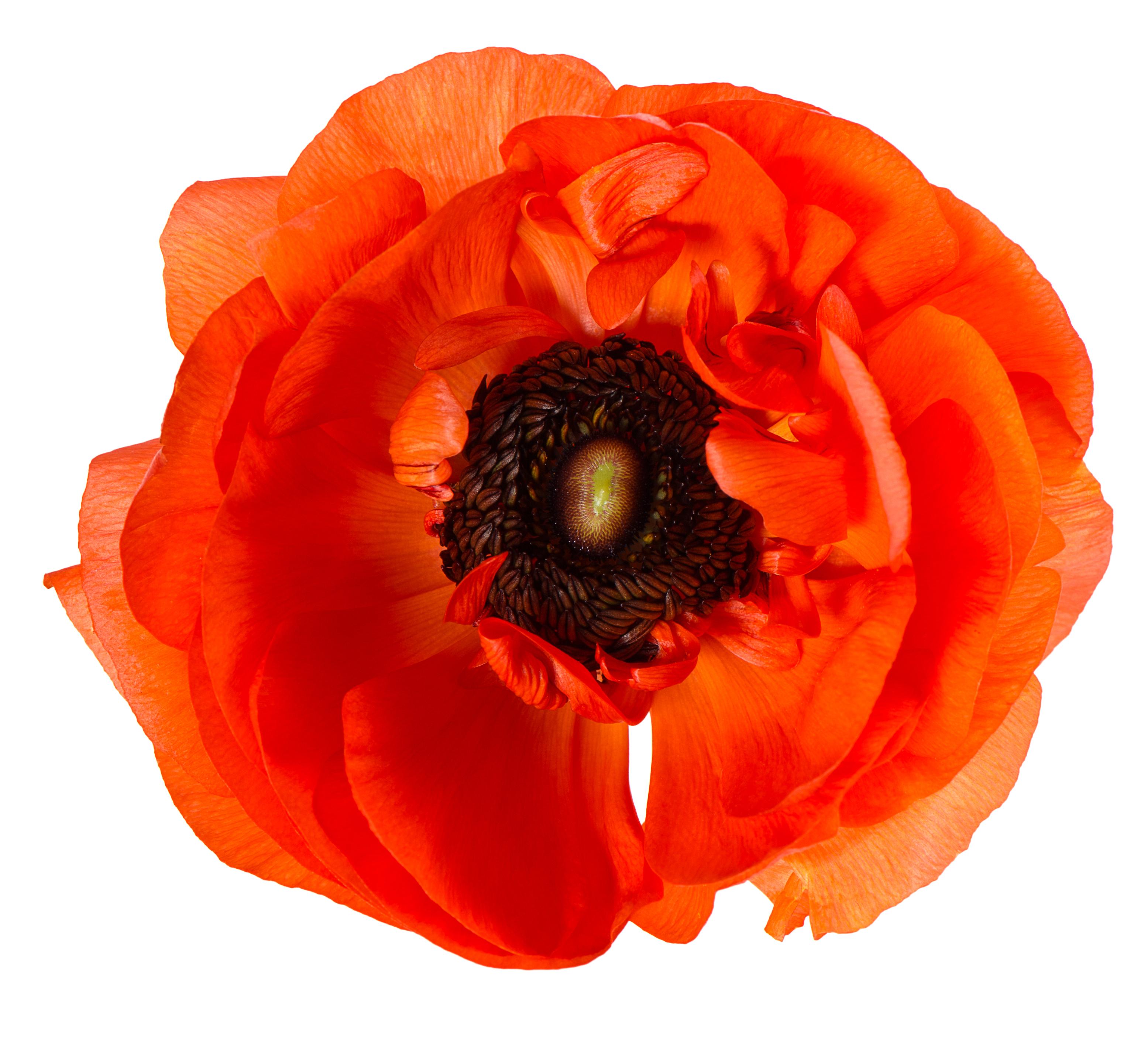 Мак: описание цветка и особенности выращивания