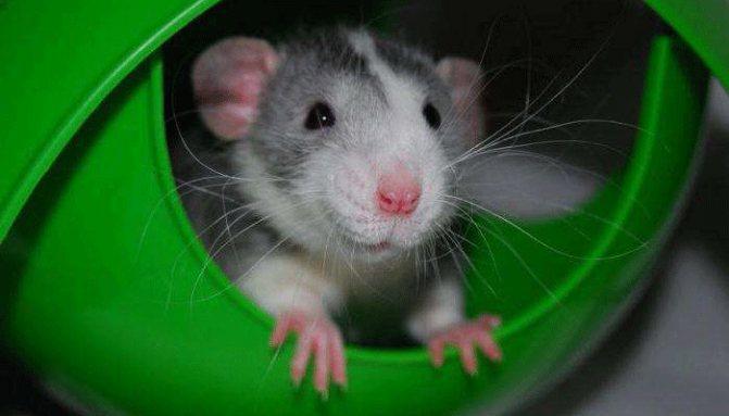 Крыса — внешний вид, обитание, жизненный цикл, опасность и разновидность + 87 фото