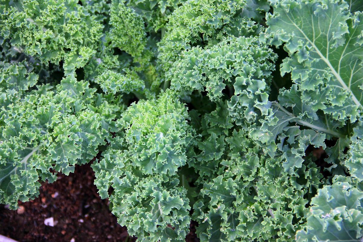 Что такое кейл растение