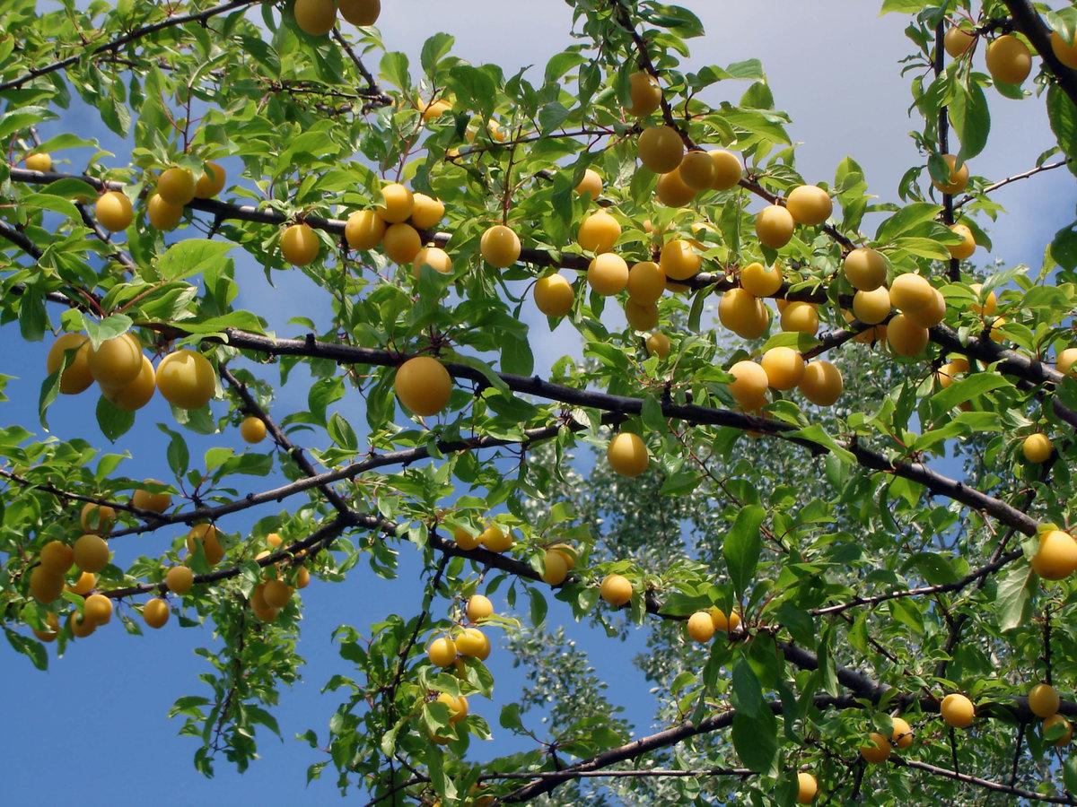 Алыча - сорта, полезные свойства и противопоказания, как заготавливать и выращивать на ydoo.info