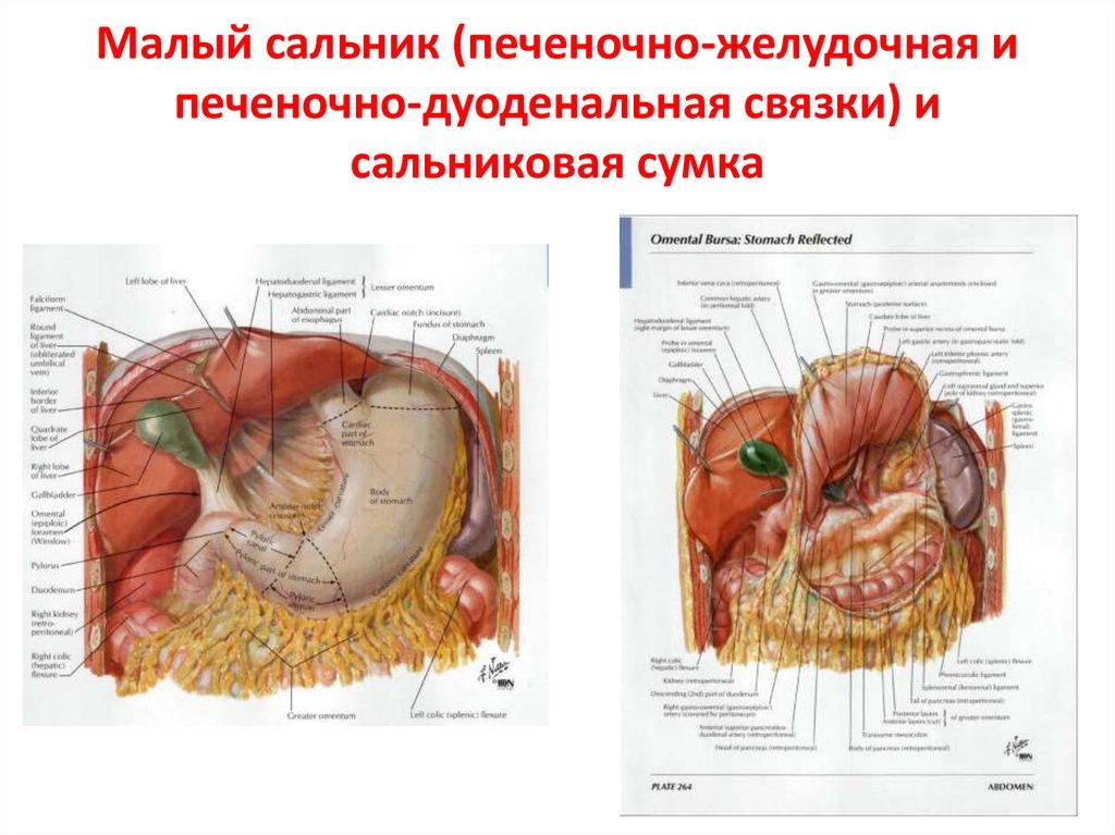 Где находится большой сальник у женщины. большой сальник: анатомия, патология, лечение - всё об аллергии