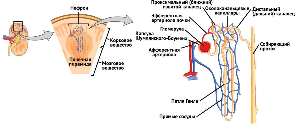 Строение нефрона, функции и типы структурной единицы почки