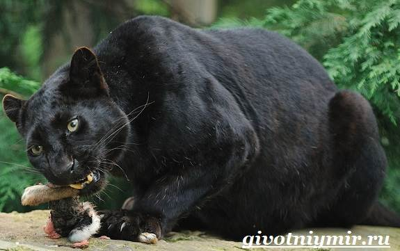 Черная пантера - фото и описание животного, где обитает и чем питается, факты