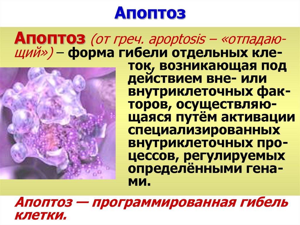 Апоптоз и некроз