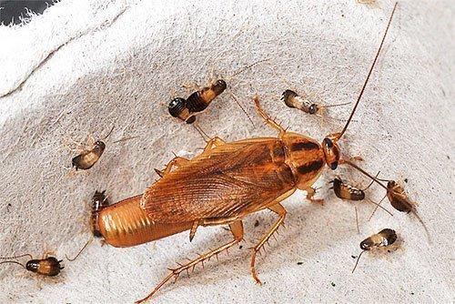 """Виды тараканов, живущие в россии, в том числе квартирных - служба дезинфекции """"экоконтроль"""""""