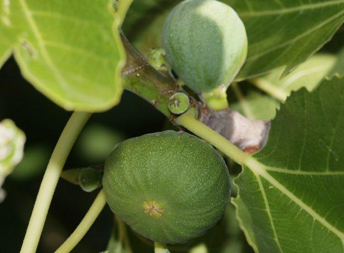 Гороскоп друидов - инжир (фиговое дерево, смоковница)