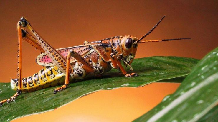 Саранча - как бороться с саранчой самостоятельно