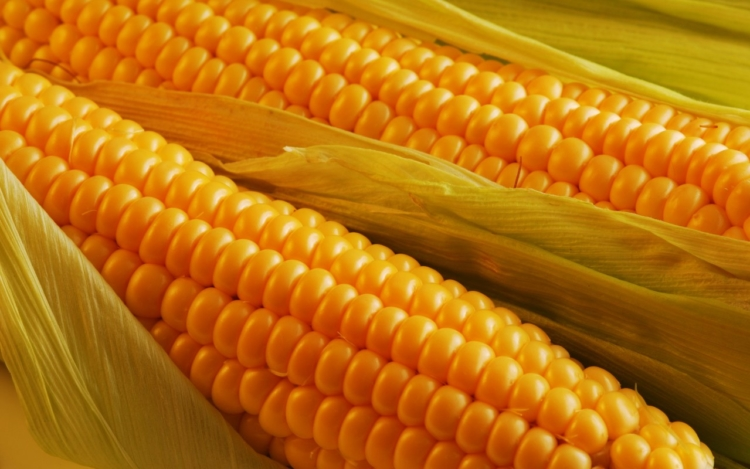Кукуруза (род) — википедия