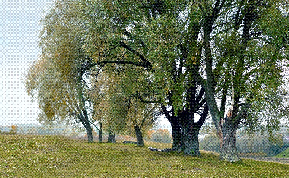ᐉ ива белая описание и особенности - roza-zanoza.ru