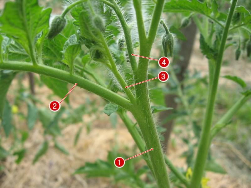 Как пасынковать помидоры, что значит пасынкование, когда и как пасынкуются в теплице, как правильно пошагово