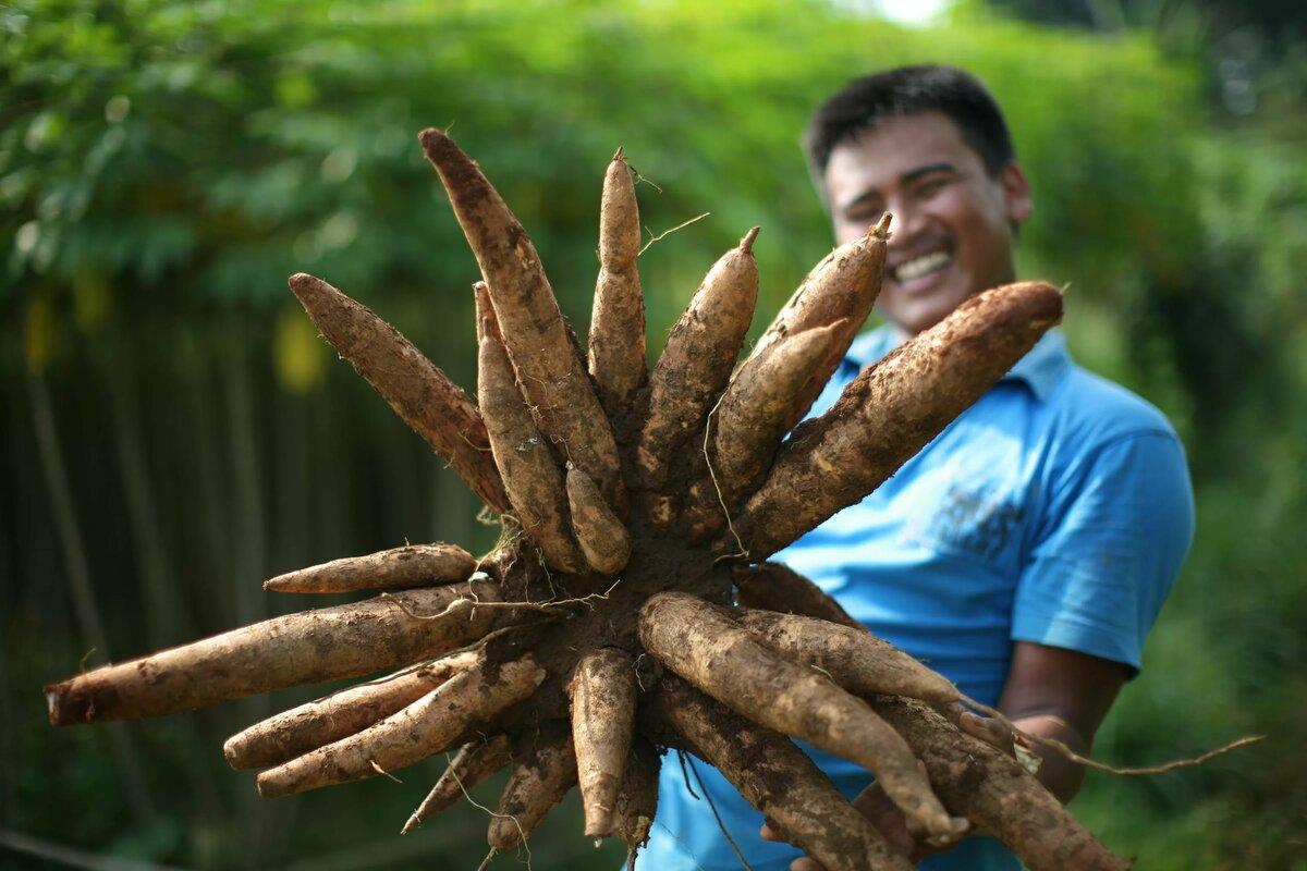 Хикама: что это такое – овощ или фрукт, каких бывает размеров, для чего используется и как есть, а также фото растения и советы по самостоятельному выращиванию