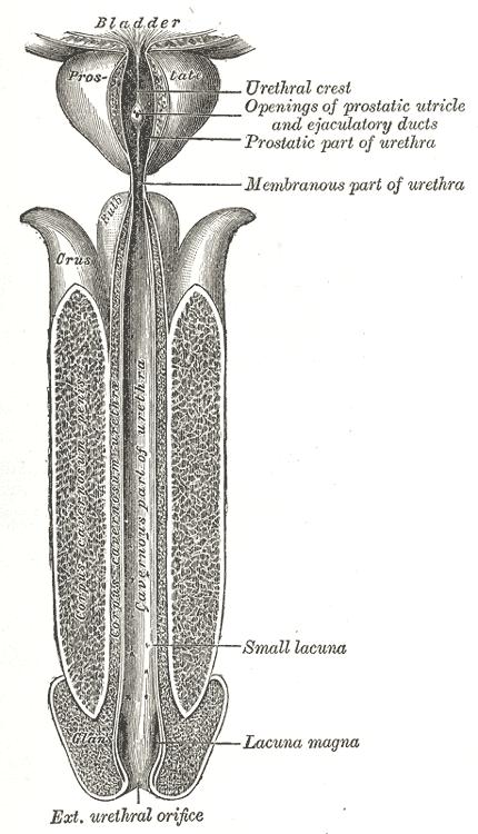 Особенности строения мочеиспускательного канала у мужчин и женщин