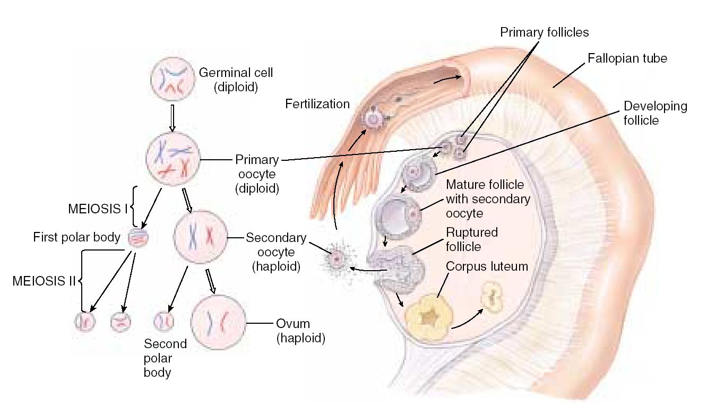 Лекция № 16. онтогенез многоклеточных животных, размножающихся половым способом