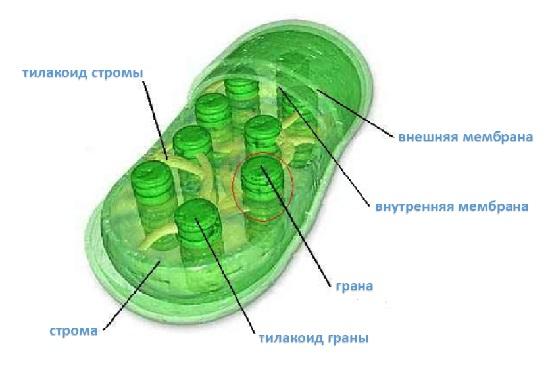 Что такое пластиды? их виды и функции :: syl.ru