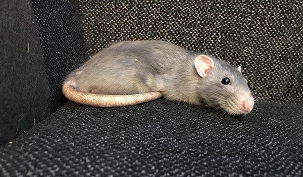 Крыса это животное