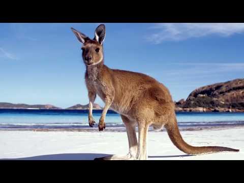 Ученые выяснили, когда появились кенгуру и почему они научились прыгать -  общество - тасс