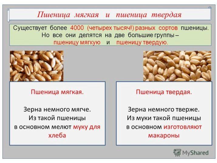 Зерновая культура пшеница: польза зерен, применение