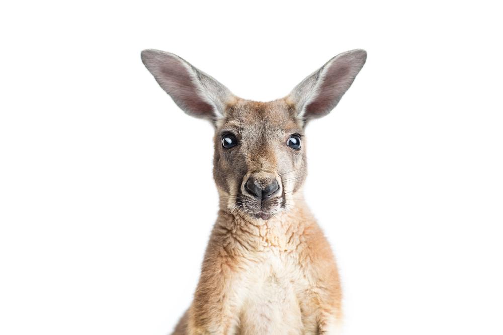 Кенгуру: описание животного, среда обитания, что едят