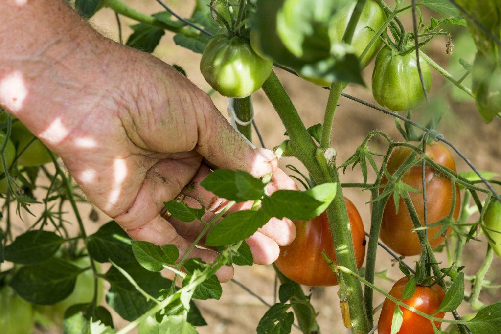 Как правильно пасынковать помидоры и нужно ли вообще это делать | на грядке (огород.ru)
