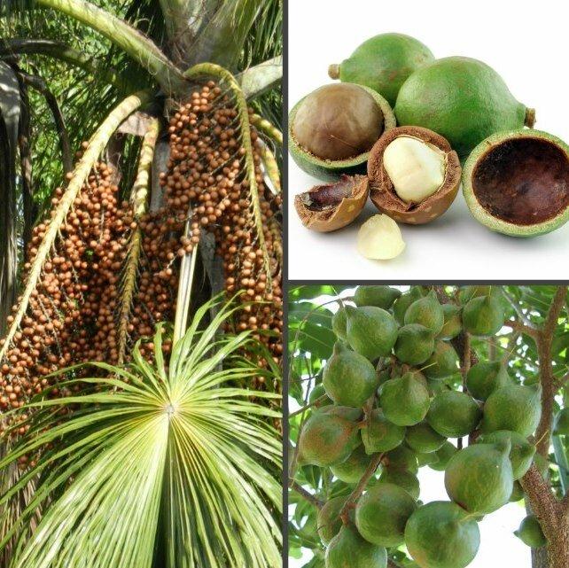 Орех макадамия: полезные свойства и противопоказания, как открыть