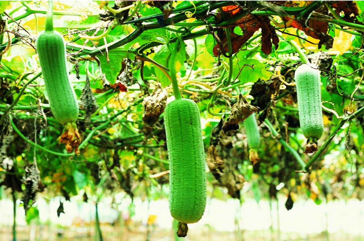 Люффа: растение, выращивание - подробная информация!