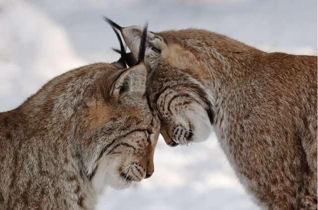 Рысь: характеристика, описание. как рысь защищается от врагов?