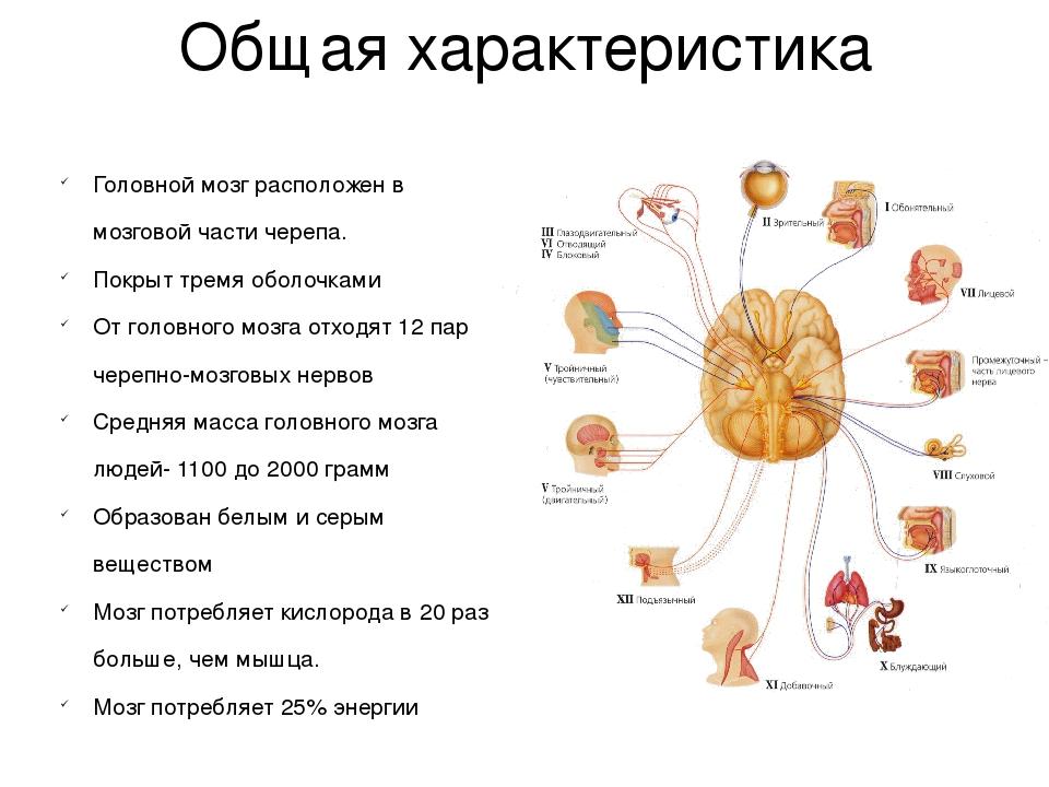 Головной мозг человека | энциклопедия кругосвет