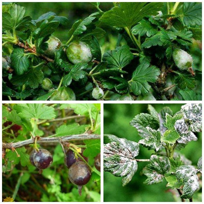 Болезни смородины: белый налет на листьях. как лечить заболевание, профилактика белого налёта на смородине: советы - секреты садоводов