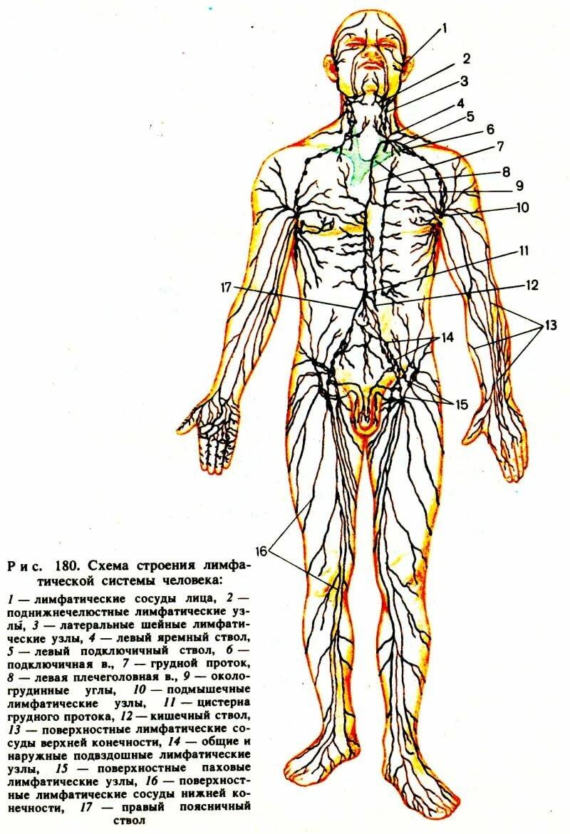Что такое лимфа, из чего образуется? состав, функции, движение, чистка лимфы