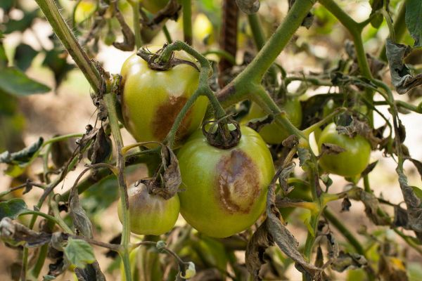 Как бороться с фитофторой на помидорах в открытом грунте