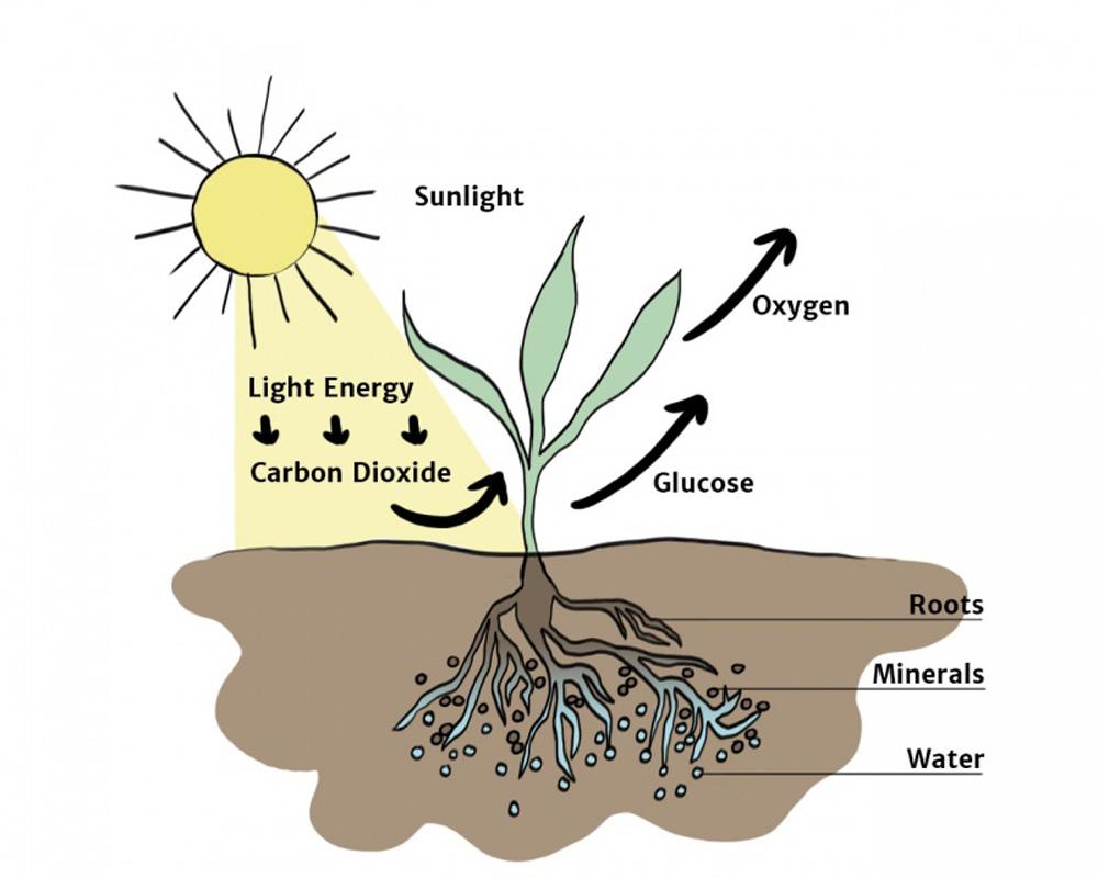 Фотосинтез растений. фотосинтез, как основа питания растений