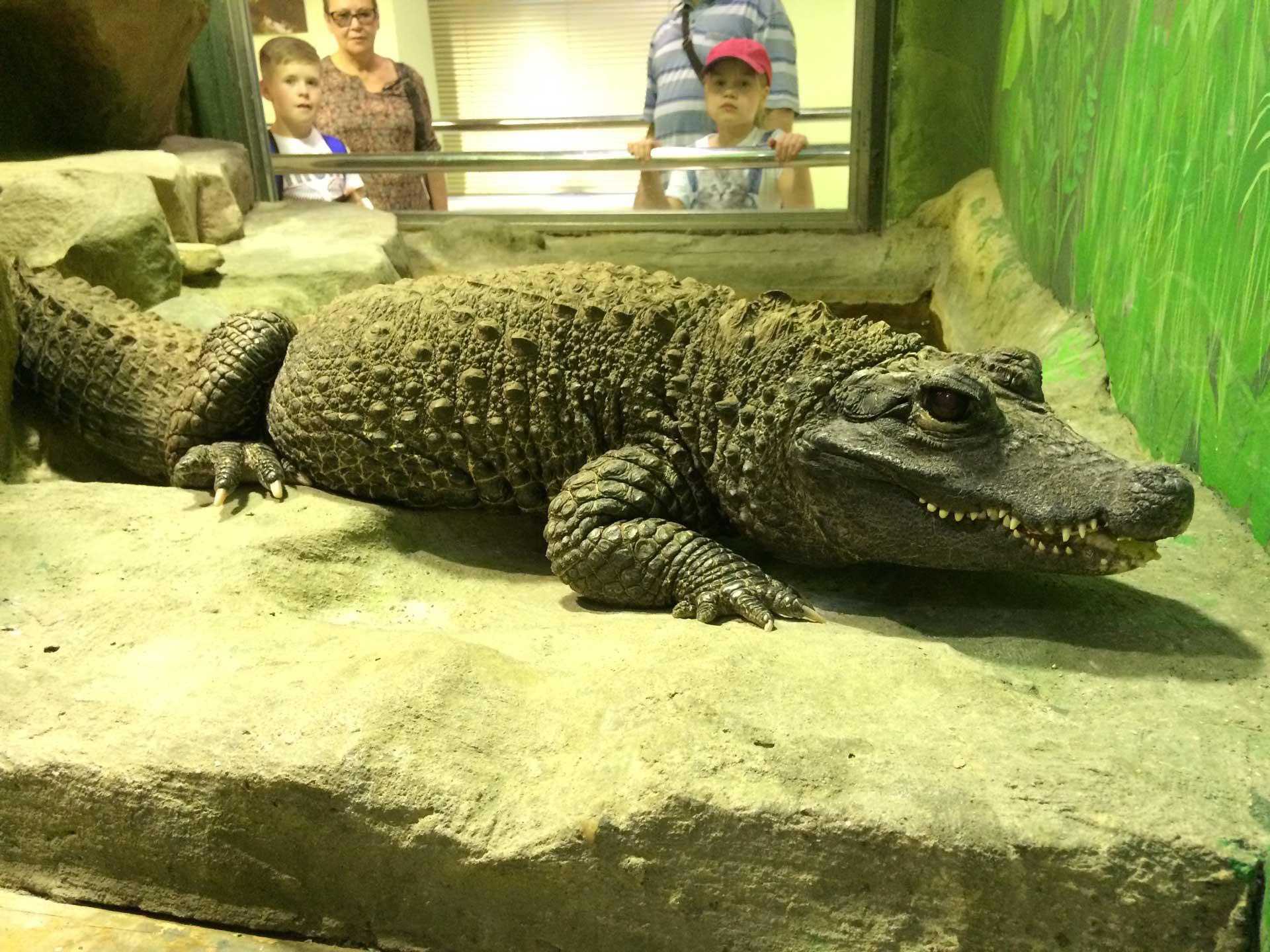 Крокодилы: описание животного, сколько живут, среда обитания