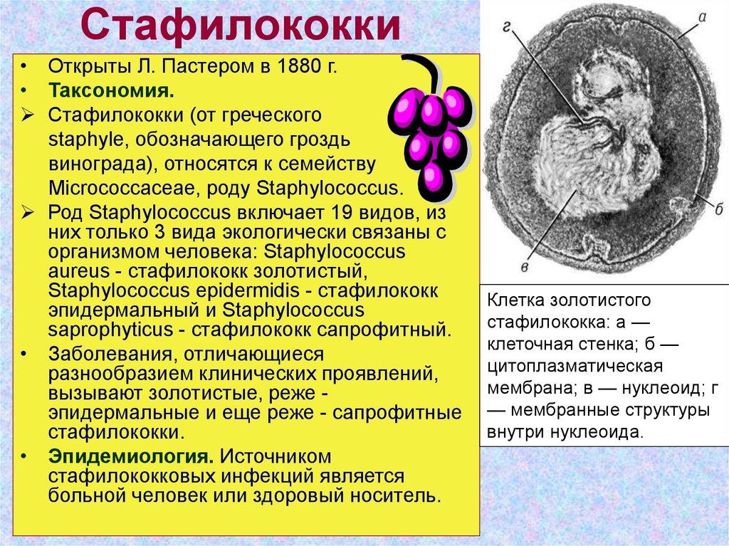 Золотистый стафилококк — википедия. что такое золотистый стафилококк