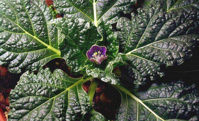 Магическое растение мандрагора: описание, свойства, применение