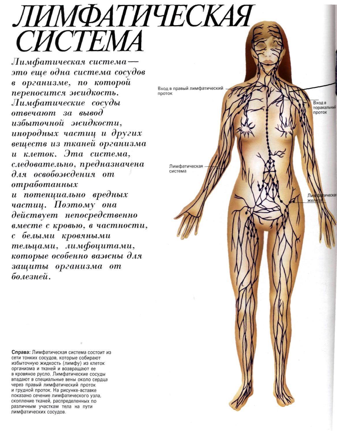 Лимфатические сосуды: строение, функции и расположение