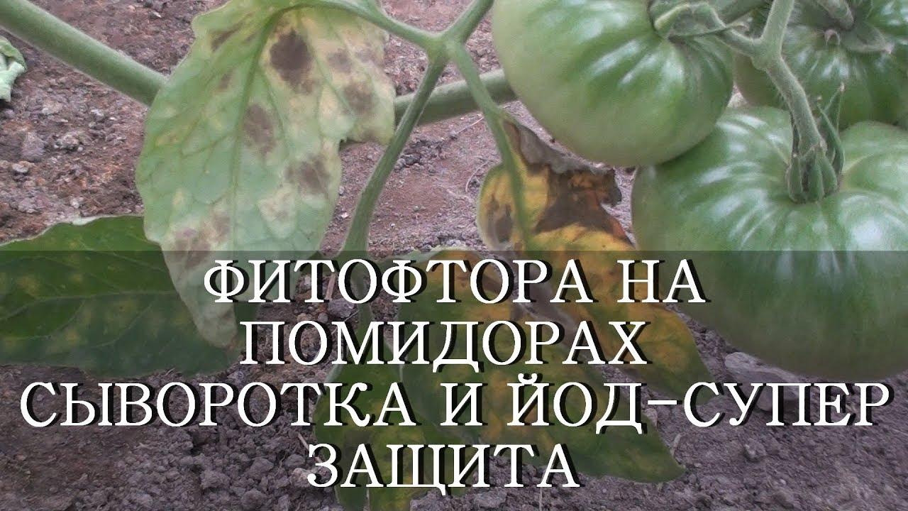 Избавляемся от фитофторы на помидорах | как избавиться?
