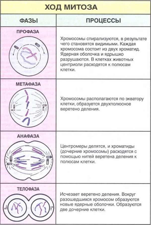 """Конспект """"жизненный цикл клетки. митоз и мейоз"""" - учительpro"""