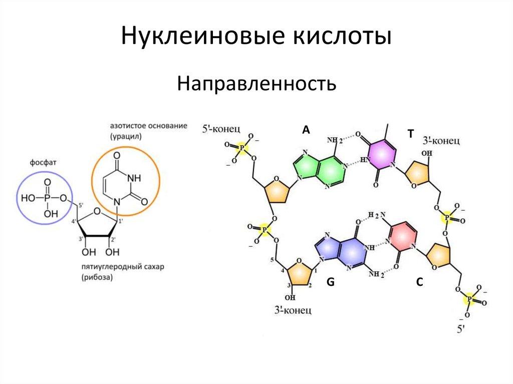 Нуклеиновая кислота