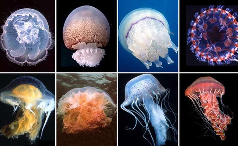 Медуза: описание, где обитают, чем питаются, сколько живут