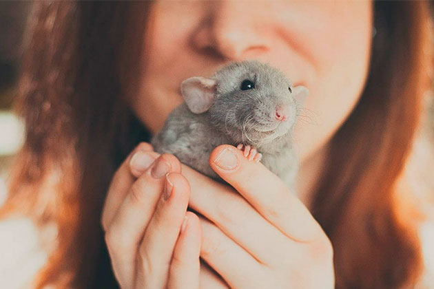 Домашняя крыса уход и содержание