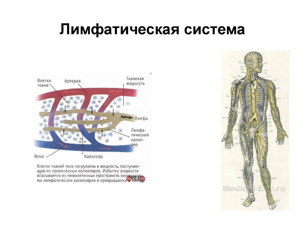 Лимфа — википедия с видео // wiki 2