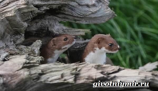 Животное ласка: фотографии, интересные факты и описание, где живет и чем питается