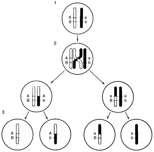 Что такое сцепленное с полом наследование? объясните сцепленное с х-хромосомой наследование.