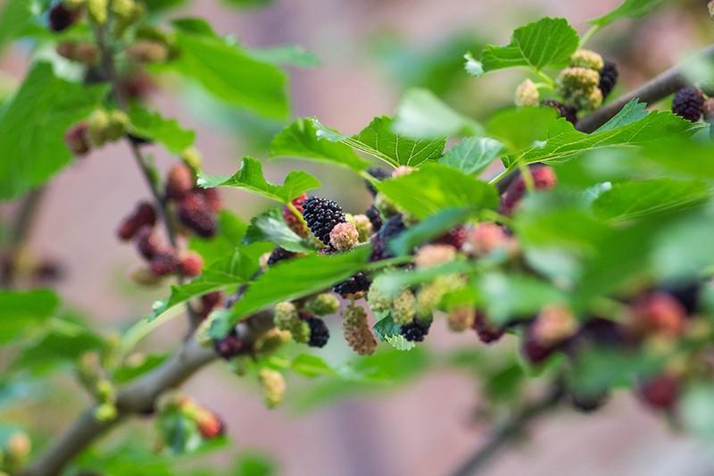 Шелковица: сорта и фото, выращивание и уход, полезные свойства