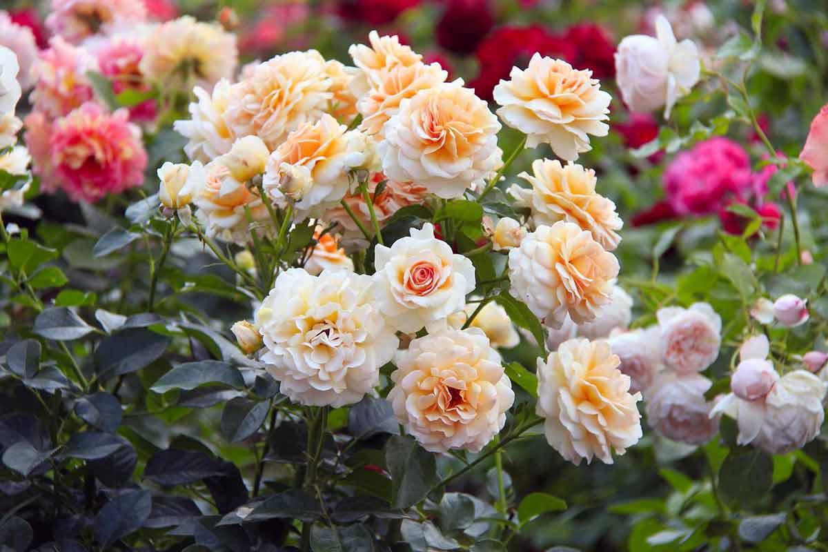 Розы сорта флорибунда: описание, фото, названия, посадка, уход